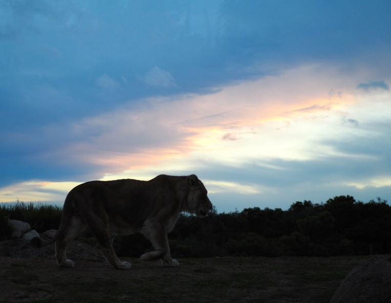 Lion as the sun sets at Werribee Zoo