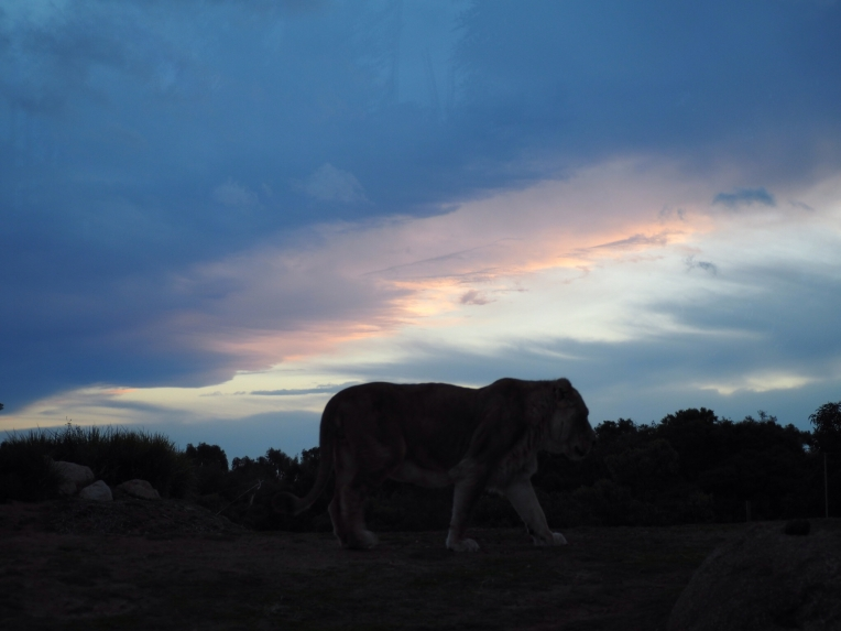 Lioness over sunset